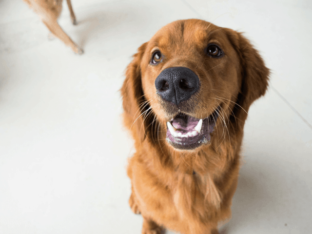 A golden retriever sits looking at the camera while in a safe dog daycare group.