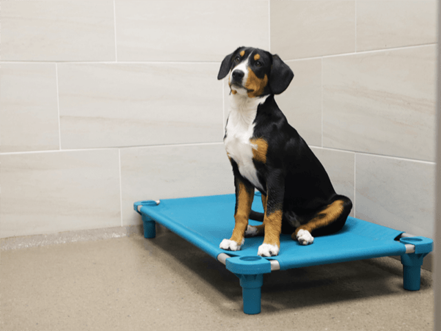 A black, white, and tan puppy sits on a teal pet cot in a dog boarding facility.