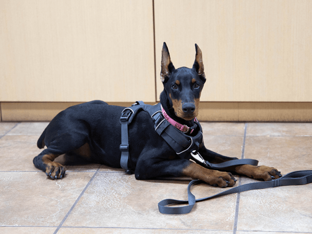 A Doberman puppy lays on a tile floor during a dog training session.