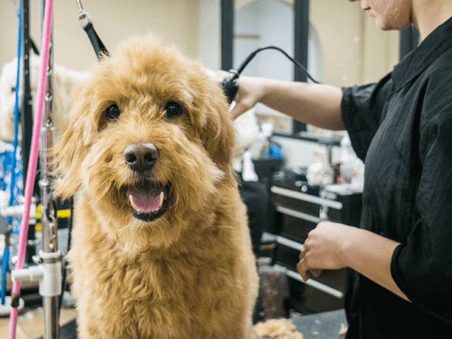 A shaggy goldendoodle is groomed on the table of a grooming salon.