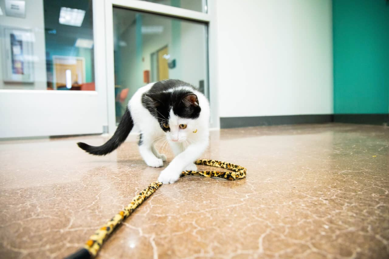 Cats can have play sessions with our staff during their stay!